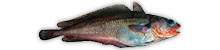 Patagonian Cod